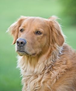 Aissues of an older, aging dog
